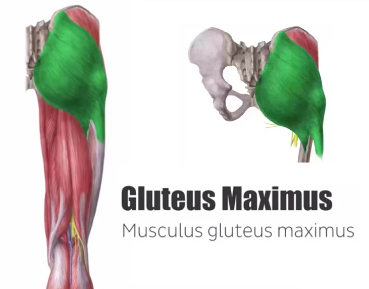 Buttocks Anatomy 101 Glute Muscles Explained The Better Butt