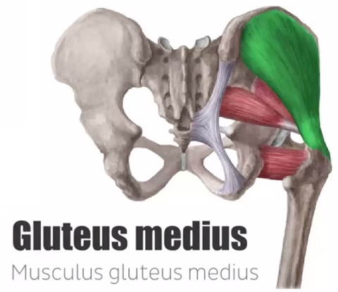 gluteus medius muscle – The Better Butt Challenge